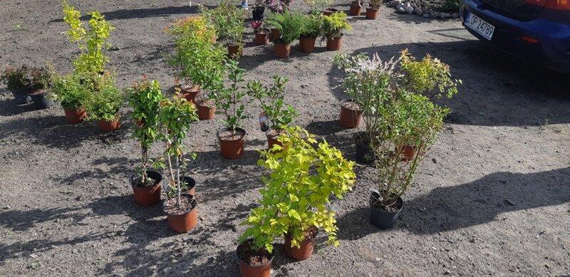 Sadzonki krzewów do ogrodu